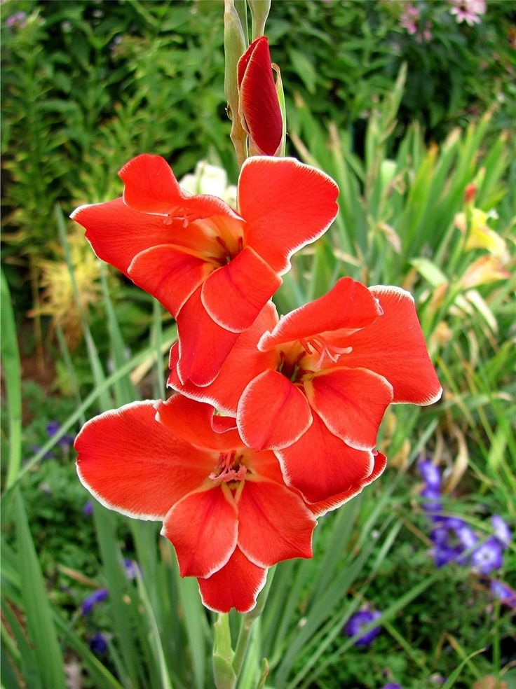 Gladiolus Plant Care and Collection of Varieties Garden