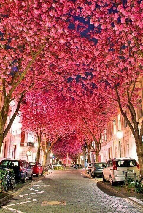 La flor de cerezo es una importante atracción turística en Altes Land, Alemania. El más grande Hanami es en Hamburgo.