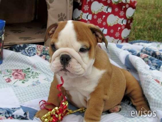 Regalo Pura raza Bulldog Inglés cachorros para su aprobación $198  Nuestros cachorros son criados en casa en nuestr ..  http://san-juan.evisos.com.pr/regalo-pura-raza-bulldog-ingles-cachorros-para-su-aprobacion-198-id-62218