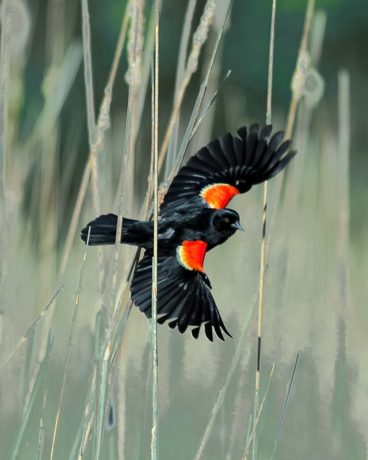The Red-winged Blackbird is sexually dimorphic; the male is all black with a red shoulder and yellow wing bar, while the female is a nondescript dark brown. Seeds and insects make up the bulk of their diet.The Red-winged Blackbird inhabits open grassy areas. It generally prefers wetlands, and inhabits both freshwater and saltwater marshes, particularly if cattail is present.