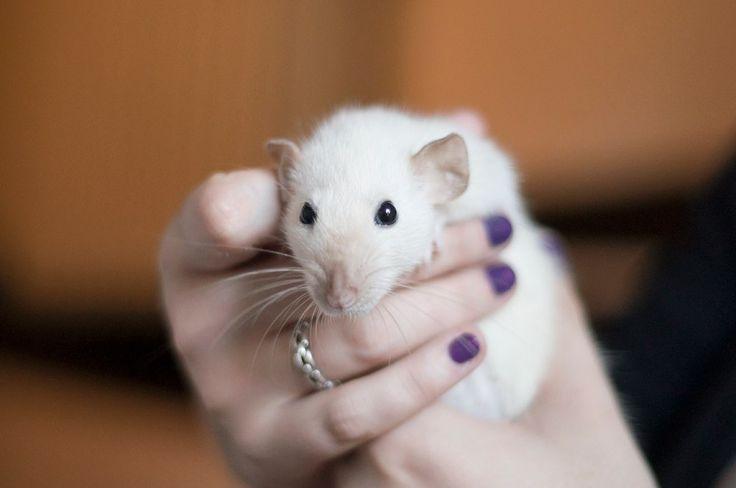 Трогательная малышка. Люблю человеков, которые дарят надежду и любовь! #крыса #крысы #animals #animalphotography #ratinstagram #lovelyrat #rat #rats #ratsofinstagram #ratsofinsta #petrat #ratpost #animalsofinstagram #фотосет
