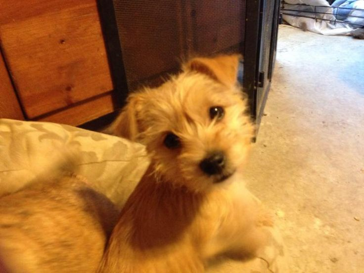 Meet Prince Charming, a Petfinder adoptable Yorkshire Terrier Yorkie Dog | Royse City, TX | Will give more information when we get to know him a little better.He is 3 months old.  He is...