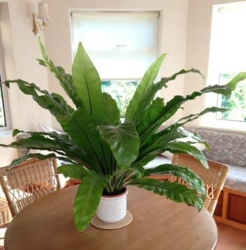 Bird's Nest Ferns or Dapo Ferns do well in quite small pots, but you must still repot them when the time comes
