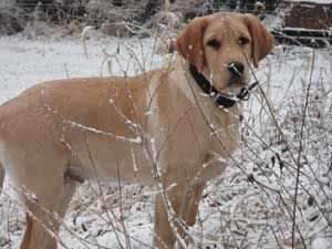 AKC Yellow Lab Puppies For Sale | White Labs Puppies | Lab Dog Puppy | Golden Retriever Lab Pups | Mini Labradoodle pup