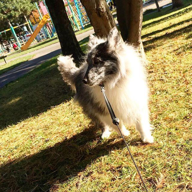 小春日和の公園で ペット シェットランドシープドッグ 公園 犬 小春日和 散歩 Dogs Animals Goats