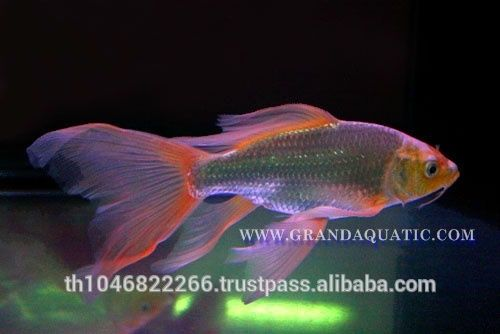 Butterfly Koi Fish | Butterfly Koi Fish For Sale / Aquarium Fish Export