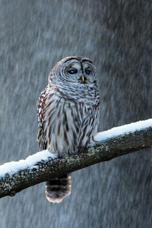 barred owl on a snowy limb