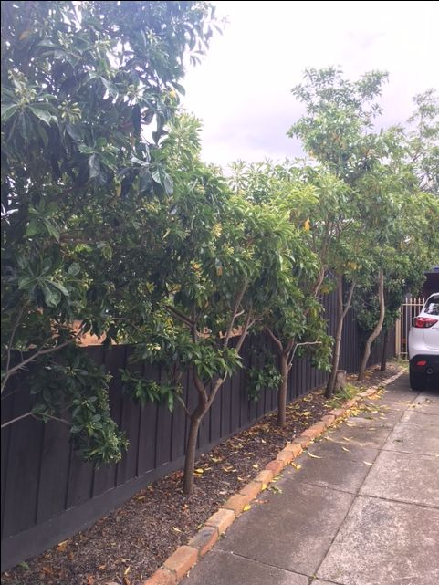 Existing driveway with native frangipani trees.