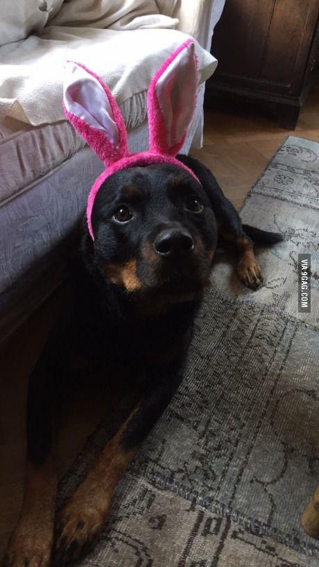 Best 25 dangerous dogs ideas on pinterest pics of cute for Rottweiler dangerous dog