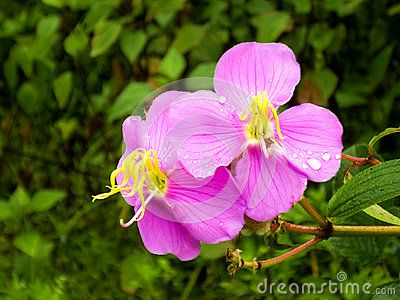 A couple of pink flower in the woods.