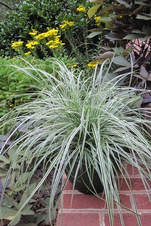 25 best images about spectacular sedges on pinterest for Low mounding ornamental grasses