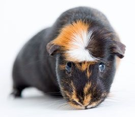 black orange and white female Guinea Pig