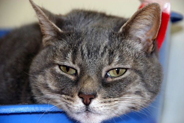 I recently treated an extremely unfortunate cat. He was a four-year-old neutered male Domestic Shorthair who lived indoors. The owners rushed him to my office after he collapsed at home. They believed he had been fine up until that day, although they had noted that he seemed dirtier than usual for several weeks leading up …