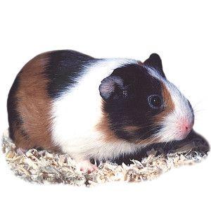Guinea Pig PetSmart Rox Pinterest