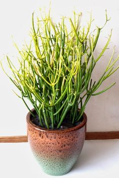 Succulents Daily Blog: Tips and Methods for Propagating Euphorbia tirucalli (firestick plant)