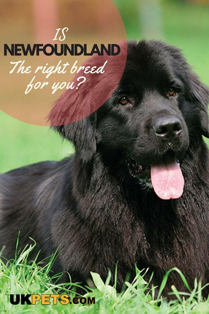 Newfoundland Dog Breed Information Uk Pets Dog Breeds Medium Dog Breeds Dogs