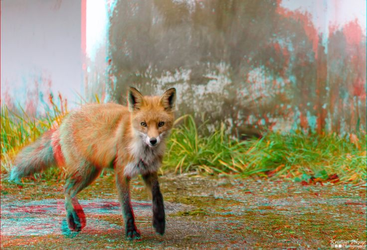 Red fox 3D Anaglyph photo (Red-Cyan)
