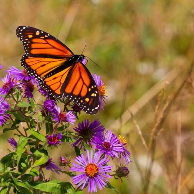 Monarch in Presqu'ile Provincial Park, Brighton Ontario.
