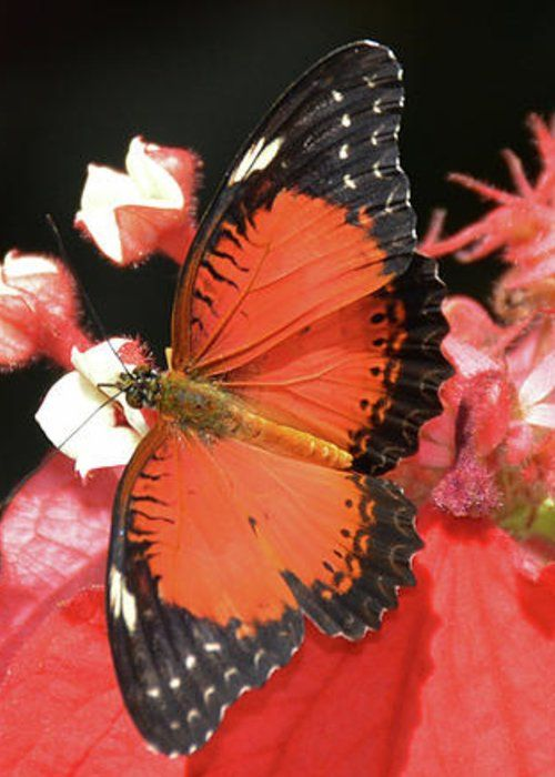 Butterfly Red by Jann Denlinger