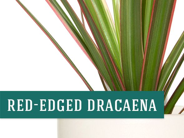 Red Edged Dracaena plant