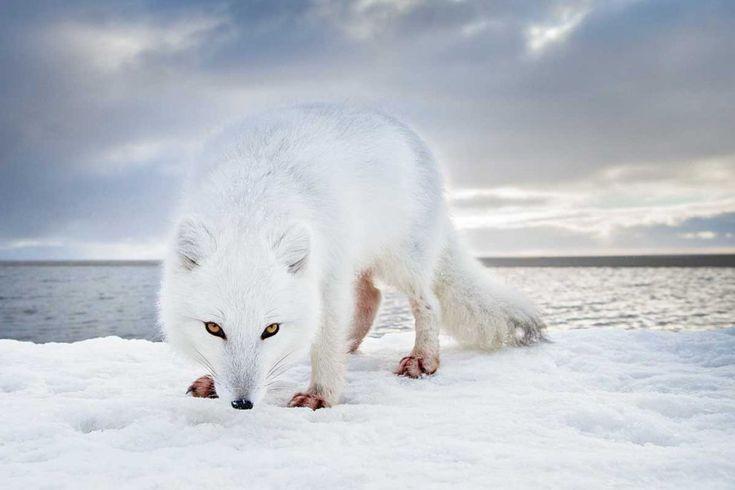 Arctic fox (photo by Rose Sjölander/70°)