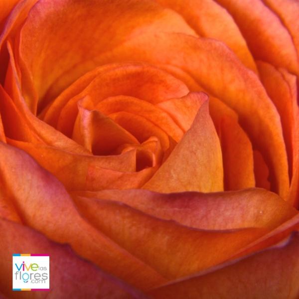 Deseo y entusiamo son el principal significado de esta rosa. Las rosas naranja de vivelasflores.com llevarán este mensaje a quien lo envíes...