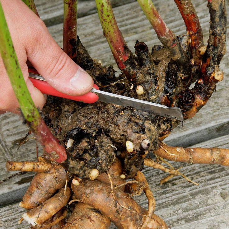 Pfingstrosen umpflanzen: Die wichtigsten Tipps