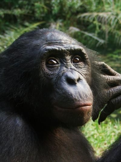 Apes Get Emotional Over Games Of Chance Like some humans, chimpanzees and bonobos exhibit emotional responses to outcomes of their decisions by pouting or throwing angry tantrums when a risk-taking strategy fails to pay off, according to research published May 29 in the open access journal PLOS ONE by Alexandra Rosati from Yale University and Brian Hare from Duke University.   This is a bonobo who was a study subject at Lola ya Bonobo Sanctuary in Kinshasa, Democratic Republic of Congo.
