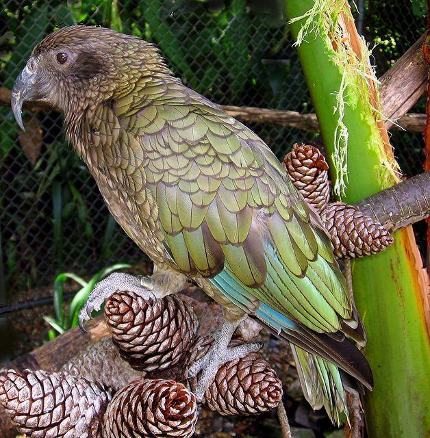 Kea - NZ Native Parrot by Mary Faith., via Flickr