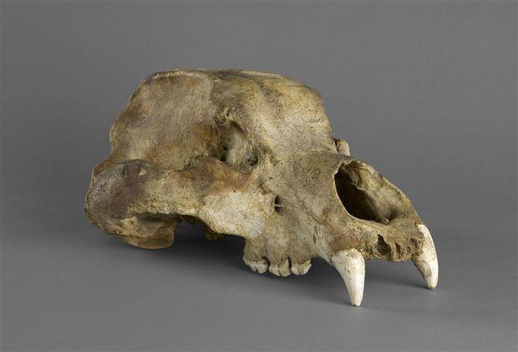 Crâne d'ours des cavernes © RMN-GP (MAN) / F.Raux