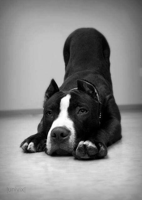 Beautiful black & white pit | Pitties