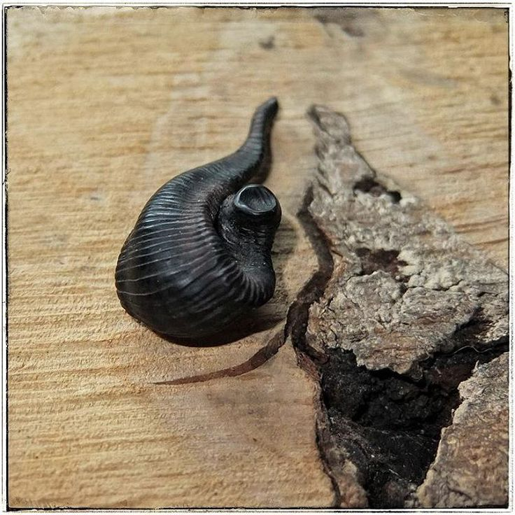 💋Nice little black Leech for you!!! Leech is ribbed and very pleasant for touching.  Pendant was carved of ebony and covered with wax.  Available in my shop on Etsy. Link in bio⬆  #darkfashion #gothfashion #altfashion  #blackfashion #blacktree #gothicjewelry #witchery #swamp #leech #leeches #пиявки  #instawitch #witchythings #blackjewelry #witchlife #witchhouse #witchyvibes  #artjewellery  #artjewelry  #wiccan #loveblack #lovedetails  #darkness #woodenjewelry #witchesofig…