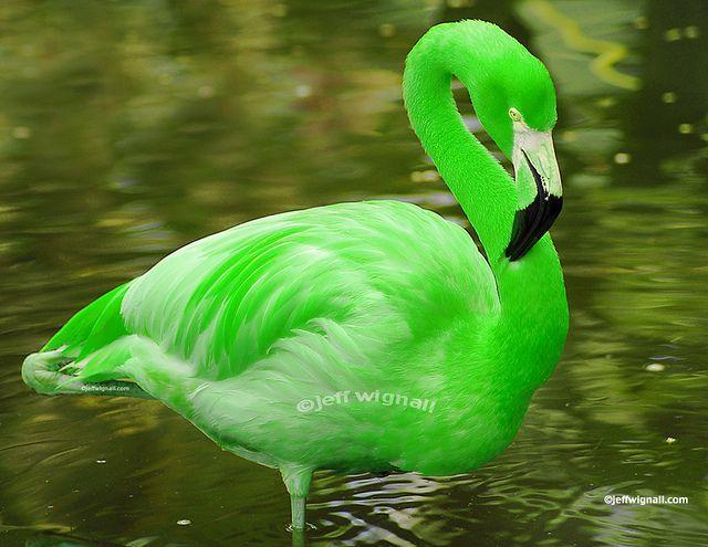 Rare Green Phase Flamingo by Jeff Wignall, via Flickr