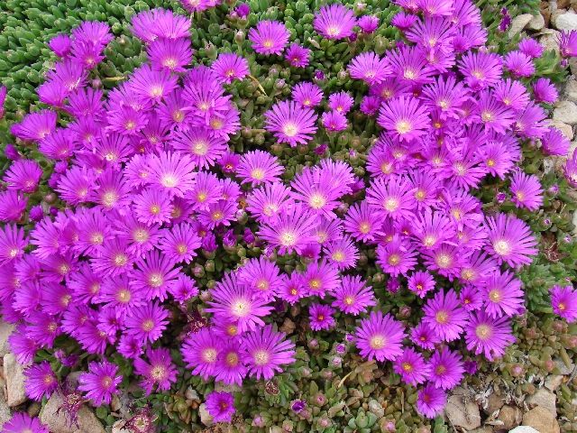 Ice Plant Hot Pink And Pink On Pinterest