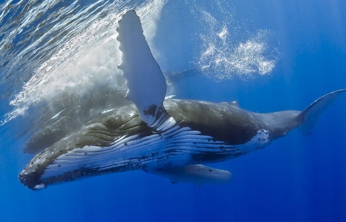 Humpback whale (Megaptera novaeangliae) swimming in the sea off the coast of Hawaii in the Pacific Ocean by Masa Ushioda. A humpback whale can weigh 35 to 40 tons and measure about 16 feet long