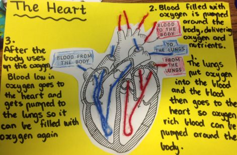 Circulatory System- Ideas for Teaching, Resources for ...