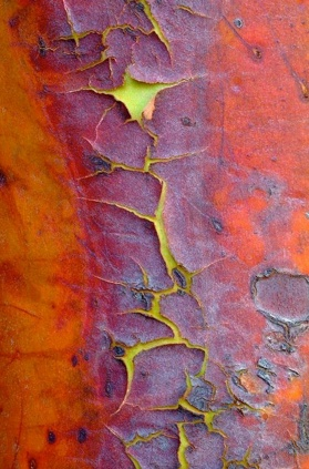 Can you believe it's a tree? ...called arbutus menziesii or strawberry tree.: Trees Bark, North America, Texture, Colors Combinations, West Coast, Evergreen Trees, The World, Madron Evergreen, Cedric Pollet