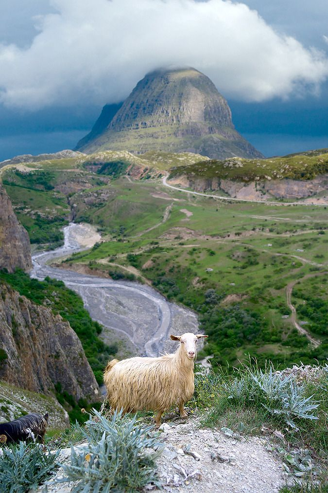 Sheep, Ben Suilven, and much loneliness, Assynt, Sutherland, the Highlands, Scotland