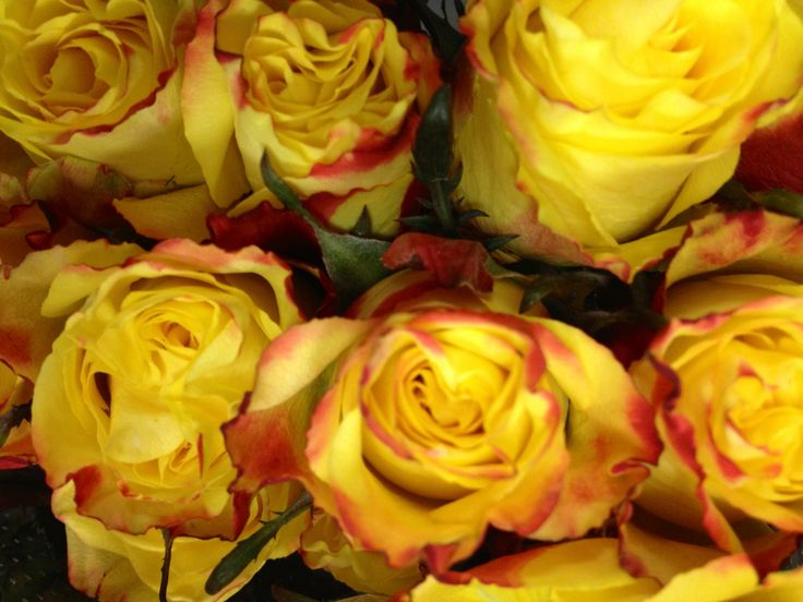 Yellow Roses With Red Tips | Flowers | Pinterest | Yellow ...