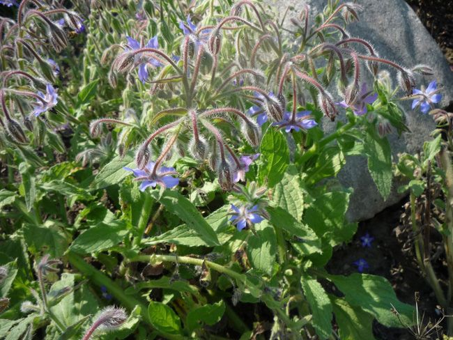 kerti borágo