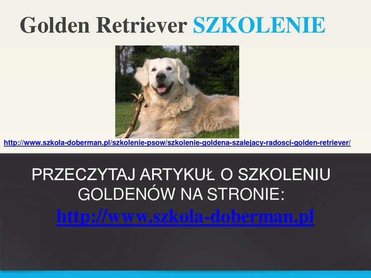 Szkolenie goldena retrievera - Golden Retriever tresura szczeniaka
