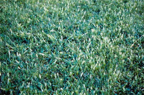 Foxtail - Weeds in Lawn #foxtail #lawnweeds