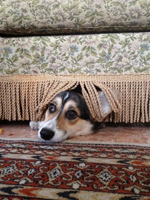 Corgi Camouflage, nobody will ever think to look here!