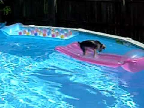 this is our Yorkie Phella who loves the swimming pool in the warm months!!!