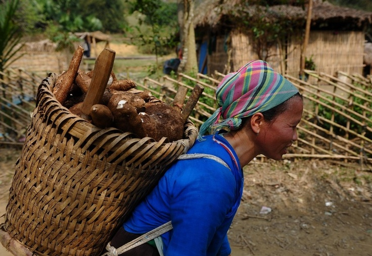 A Nung hilltribe ethnic woman carries home cassava from a field in Vietnam.