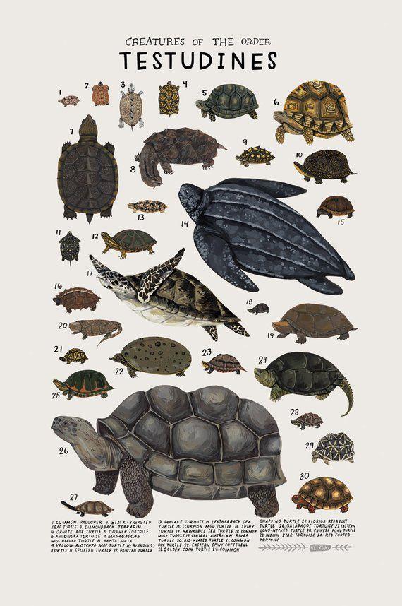 Creatures of the order Testudines – Schildkröte