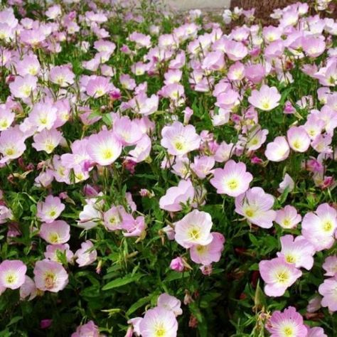 Grow Heirloom Primrose Seeds - Plant Showy Evening Primrose SeedsThis prolific wildflower blooms throughout the summer with large and delicate, pale pink blooms. Showy Evening Primrose is unique as it opens its blooms in the cool evening hours, attracting moths and other nocturnal insects. A perfect addition to your moon garden!