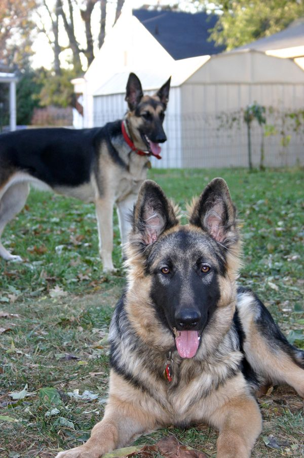 The raw food, BARF, diet for dogs.  Biologically Appropriate Raw Food. A Raw Food, Real Food Diet for Our German Shepherd Dog – Part 1