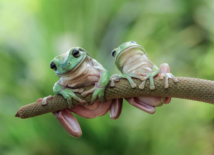 hangin there  Cute Frog Photography from Tanto Yensen - an Indonesian photographer who takes stunning pictures of frogs