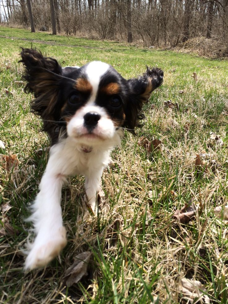 Tena Pearl - 5 months old - tricolor Cavalier King Charles Spaniel